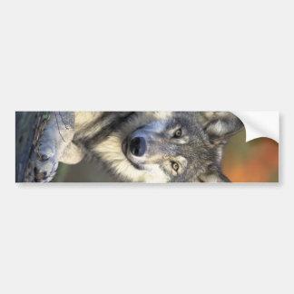 Beautiful Wolf Bumper Sticker