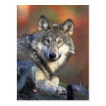 Beautiful Wolf Post Cards