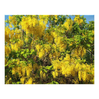Beautiful yellow flowers of the Golden Rain Tree Flyer