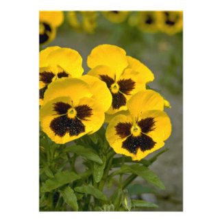 Beautiful yellow Pansies Custom Announcement