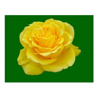 Beautiful Yellow Rose Closeup Isolated Postcard