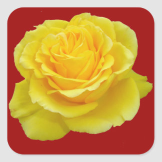 Beautiful Yellow Rose Closeup Isolated Square Stickers
