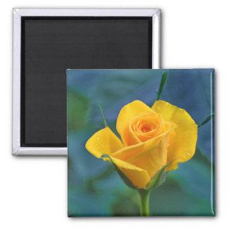 Beautiful yellow rose magnet