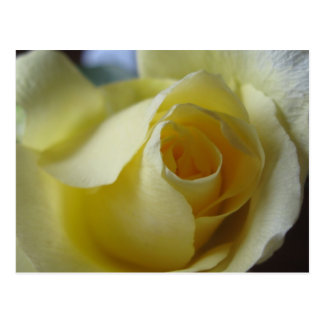 Beautiful Yellow rose postcard