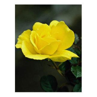 Beautiful yellow rose postcard