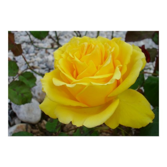 Beautiful Yellow Rose with Natural Garden Poster