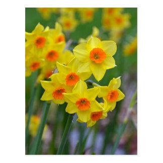 Beautiful yellow spring daffodils postcard