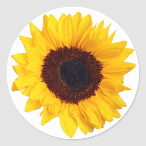 Beautiful Yellow Sunflower on White Sticker