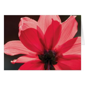 Beautifully backlit dahlia blank card