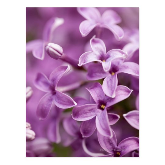 Beauty in nature - Purple Lilac Postcard