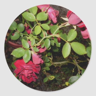 Beauty of a Rose Keepsake Collection Classic Round Sticker