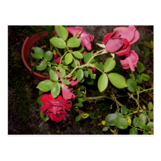 Beauty of a Rose Keepsake Collection Postcard