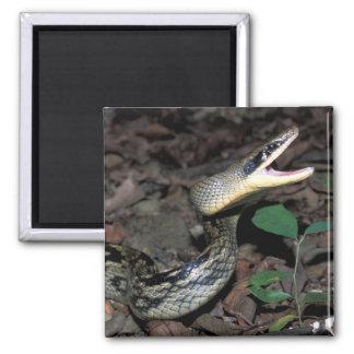 Beauty rat snake magnet
