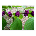 Beautyberry - verbena tarjeta postal