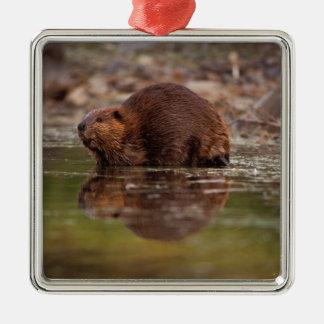 beaver, canadensis del echador, entra para una nad ornamento de reyes magos