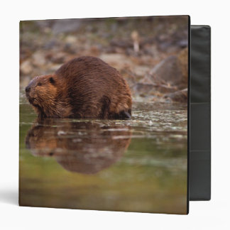 beaver, Castor canadensis, goes for a swim in Binder