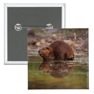 beaver, Castor canadensis, goes for a swim in 2 Inch Square Button