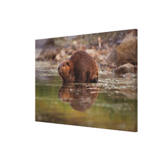 beaver, Castor canadensis, goes for a swim in Canvas Print