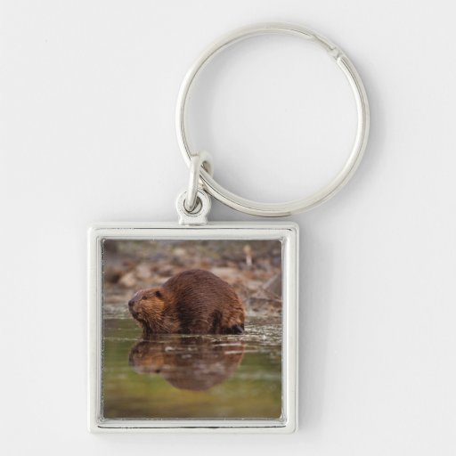 beaver, Castor canadensis, goes for a swim in Silver-Colored Square Keychain