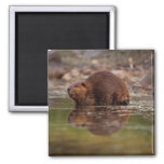 beaver, Castor canadensis, goes for a swim in 2 Inch Square Magnet