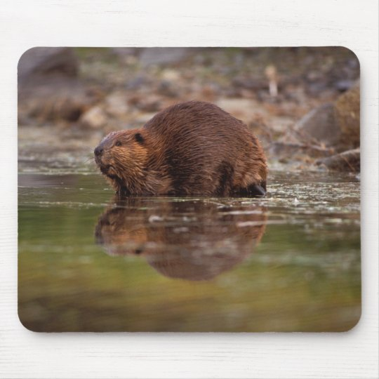 beaver, Castor canadensis, goes for a swim in Mouse Pad