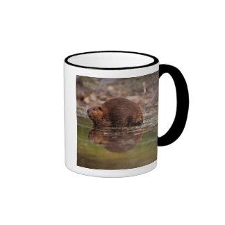 beaver, Castor canadensis, goes for a swim in Ringer Coffee Mug