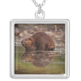 beaver, Castor canadensis, goes for a swim in Square Pendant Necklace