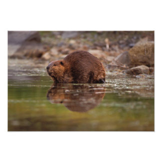 beaver, Castor canadensis, goes for a swim in Photo Print