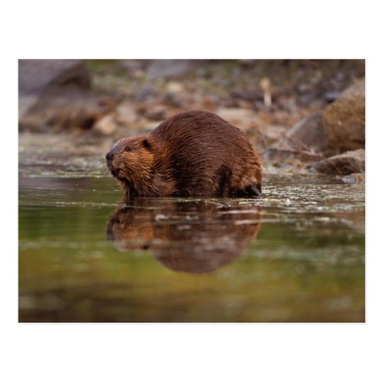 beaver, Castor canadensis, goes for a swim in Postcard