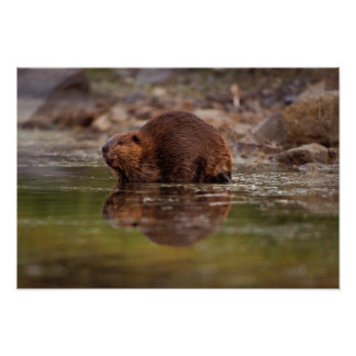 beaver, Castor canadensis, goes for a swim in Poster