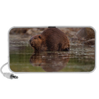 beaver, Castor canadensis, goes for a swim in Laptop Speakers