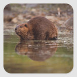 beaver, Castor canadensis, goes for a swim in Square Sticker