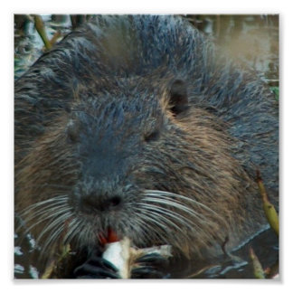 Beaver Habitat Poster