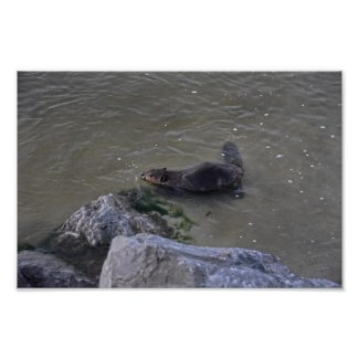 Beaver in the Ocean, Dauphin Ocean, Alabama Poster