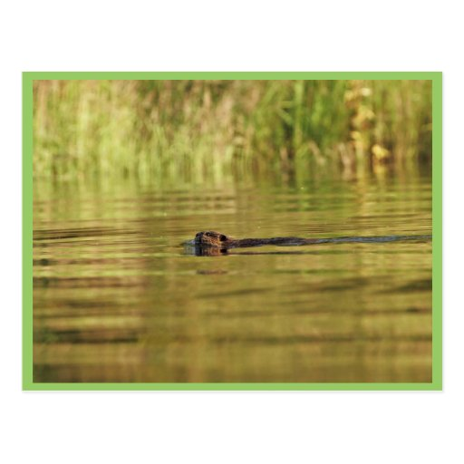 Beaver on Kanuti Lake Postcards