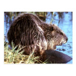 Beaver Photo Postcard
