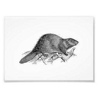 Beaver Photograph