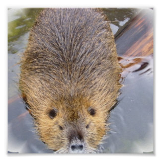 Beaver Poster Print