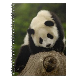 Bebé de la panda gigante (melanoleuca del Ailuropo Cuadernos