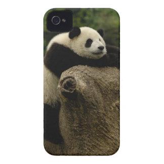 Bebé de la panda gigante (melanoleuca del Ailuropo Case-Mate iPhone 4 Protectores