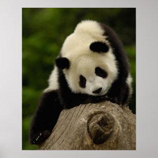 Bebé de la panda gigante (melanoleuca del Ailuropo Poster