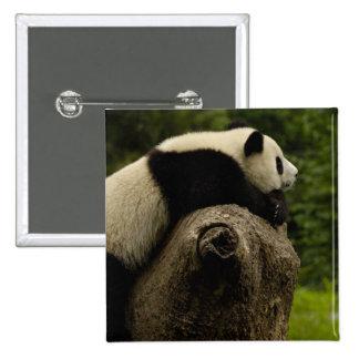 Bebé de la panda gigante (melanoleuca del Ailuropo Pin Cuadrada 5 Cm