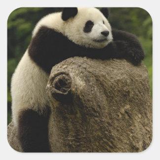 Bebé de la panda gigante (melanoleuca del pegatina cuadrada