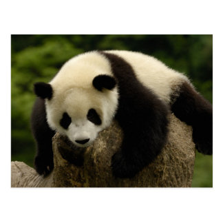 Bebé de la panda gigante (melanoleuca del tarjeta postal