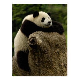 Bebé de la panda gigante (melanoleuca del tarjetas postales