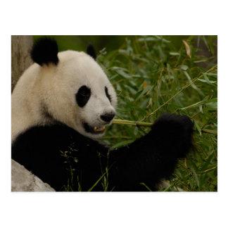Bebé de la panda gigante que come el bambú postal