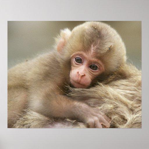 Bebé del mono de la nieve, Jigokudani, Nagano, Jap Impresiones