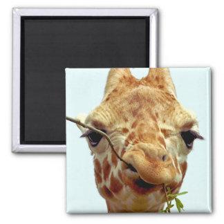bebé divertido de la jirafa imán cuadrado