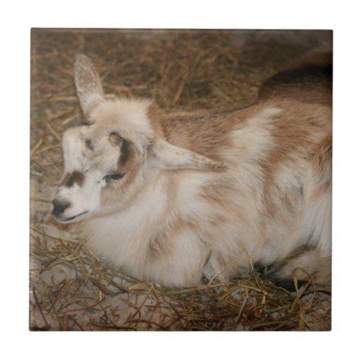 Bebé doeling de la pequeña cabra peluda azulejo cuadrado pequeño