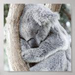 bebé durmiente de la koala póster